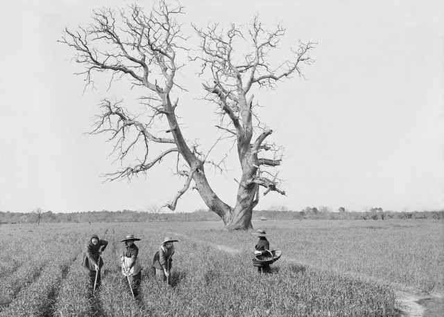4-Felix-Arnaudin--Sabres--Le-Nan--chataignier--sarcleuses--2-avril-1913-Inv-66-27-2023